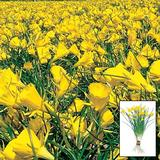 Yellow Carpet Daffodil Bulbs - Golden Bells - 50 Daffodil Bulbs