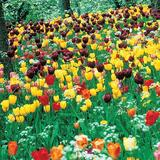 Darwin Hybrid Tulip Mix -Long Stem- Wholesale Bulk Bag (100 bulbs/bag)