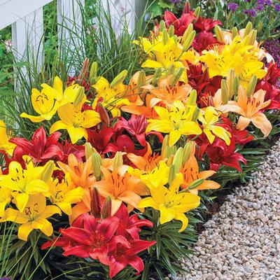 Each stem boasts several seriously flamboyant blooms.Bring big blooms and bold colours to borders, walkways and containers! Our newest carpet border combo turns up the heat with low-growing lilies in red, orange and yellow. Short and showy, this...